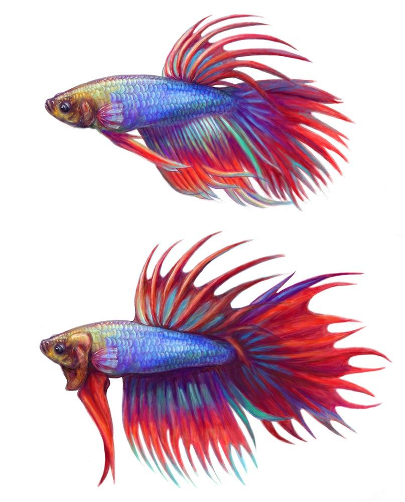 Betta Fish Drawing  Betta Fish Drawings